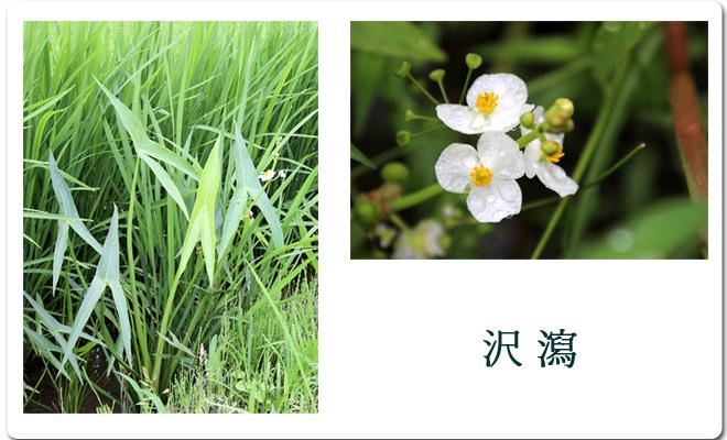7~8月に白い可憐な花をつける沢瀉は矢じりに似た葉をもつため武人に好まれました。